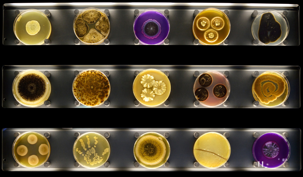 The wall with Petri dishes containing different micro-organisms. Photo Micropia, Maarten van der Wal